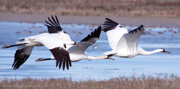 whooping-cranelaura-erickson-1.jpg