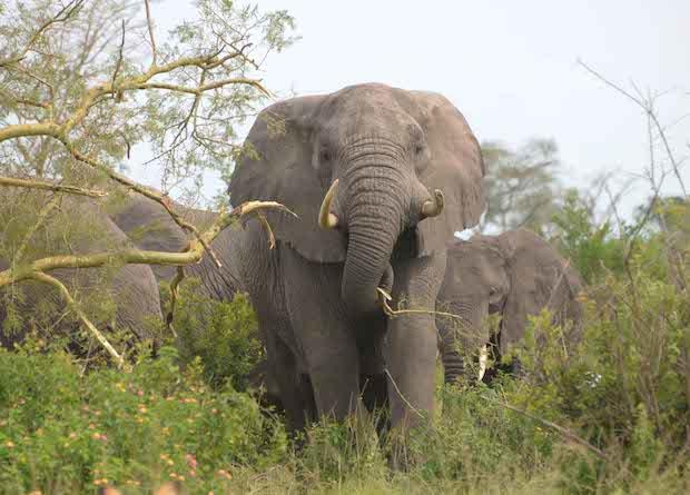 elephant-acacia-copy.jpg