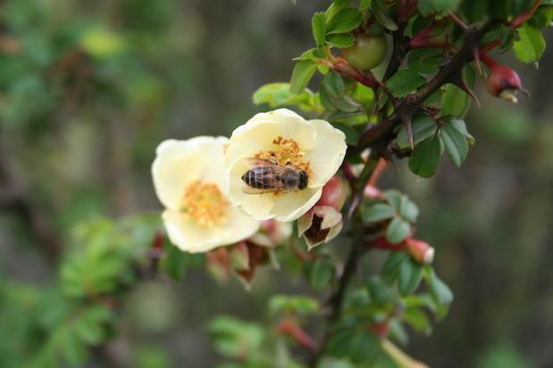 a-cerana-foraging-rose.jpg