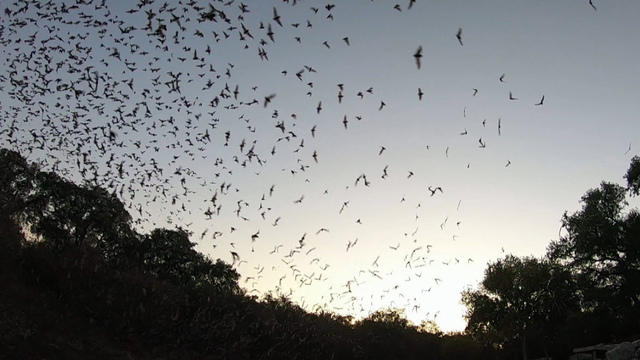 Vampire bats hunt and eat with trusted buddies, study shows