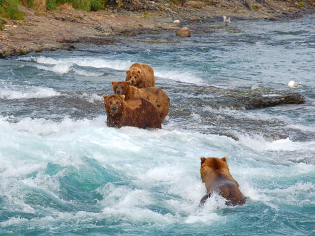 Bears Of McNeil River