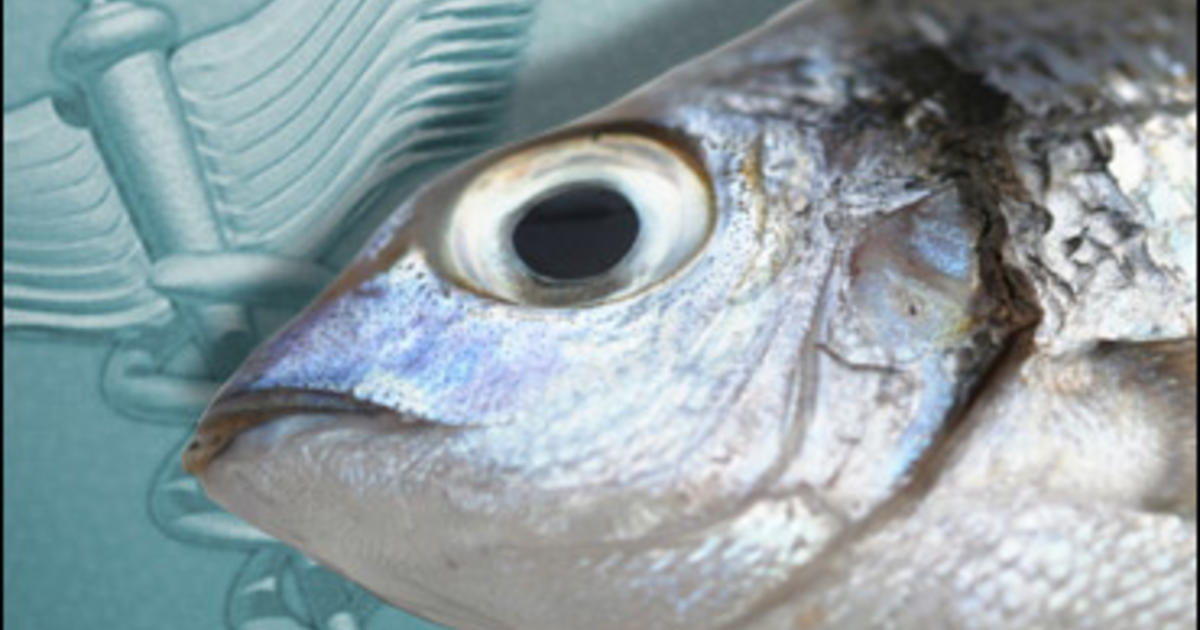 Mercury in fish widespread study shows cbs news for How much mercury is in fish