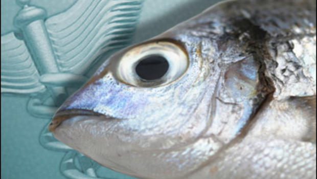 Mercury in fish widespread study shows cbs news for Which fish has the most mercury