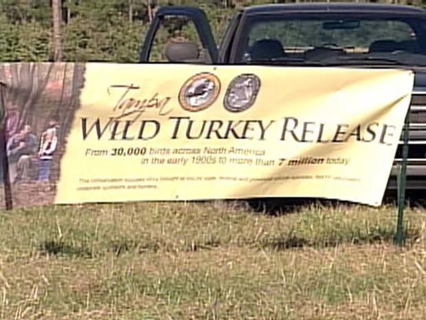 Saving Wild Turkeys?