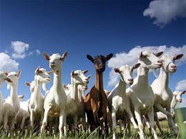 Goat photo generic