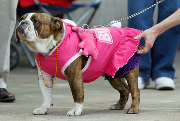Beautiful Bulldog Contest