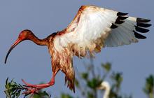 Animals Hurt By Gulf Oil Spill