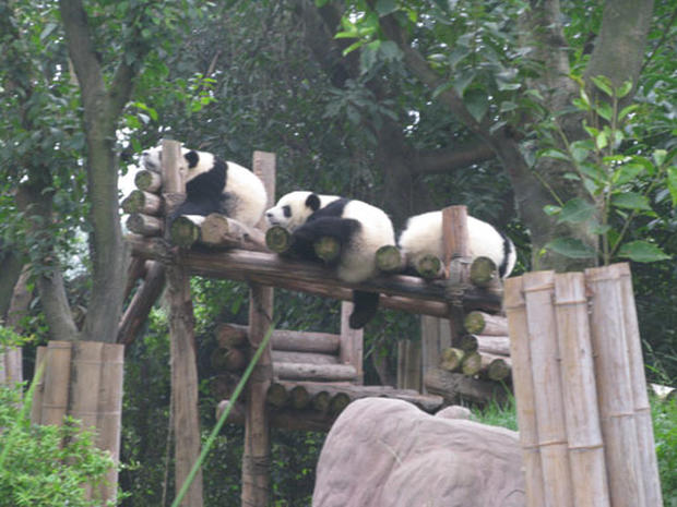 Inside a Panda Sanctuary