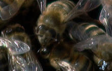 Strong Clues in Bee Mystery