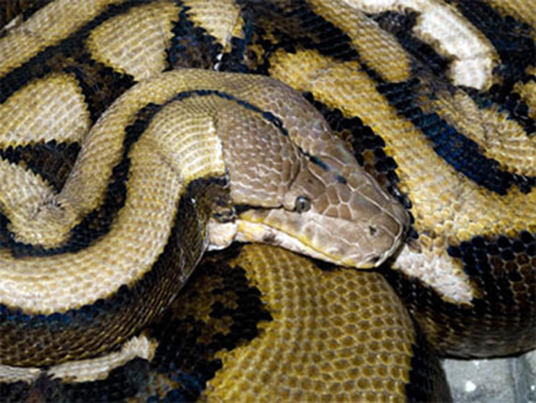 longest snake