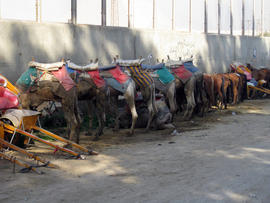 camels in Egypt,