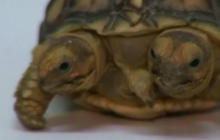 Two-headed tortoise also has five legs