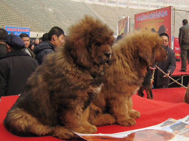 SHIJIAZHUANG, CHINA - FEBRUARY 16:(CHINA OUT) Tibetan mastiffs are seen during the 'China Northern 2011 Tibetan Mastiff Exposition' at Yutong International Sports Centre on February 16, 2011 in Shijiazhuang, Hebei province of China. The Tibetan Mastiff, also known as DoKhyi, is an ancient breed and a type of domestic dog originating with nomadic cultures in Central Asia. (Photo by ChinaFotoPress/Getty Images)