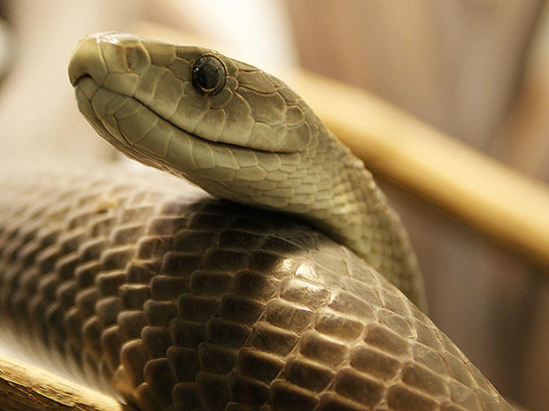 Snake! 15 deadliest serpents
