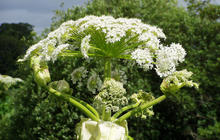 Giant hogweed: 8 facts you must know about the toxic plant