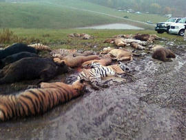 Animal bodies are seen scattered near a barn at the Muskingum County Animal Farm, near Zanesville, Ohio, Oct. 19, 2011.