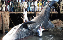 Fishermen reel in 40-foot whale shark
