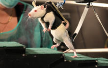Injured rats walk thanks to spinal nerve stimulation