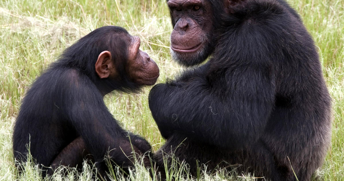 Jane Goodall Institute chimpanzee mauling at South Africa sanctuary ... Chimpanzee Jane