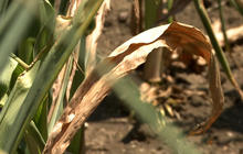 Drought sends corn prices soaring