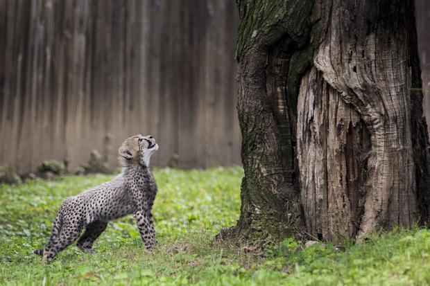Cheetah cubs make debut at National Zoo