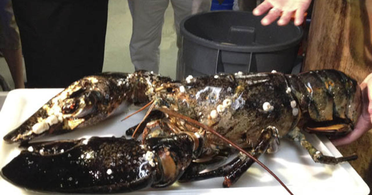 Lobster Monster Finds Home At Boston Aquarium Cbs News