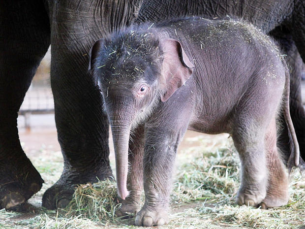Baby elephant born at Berlin Zoo
