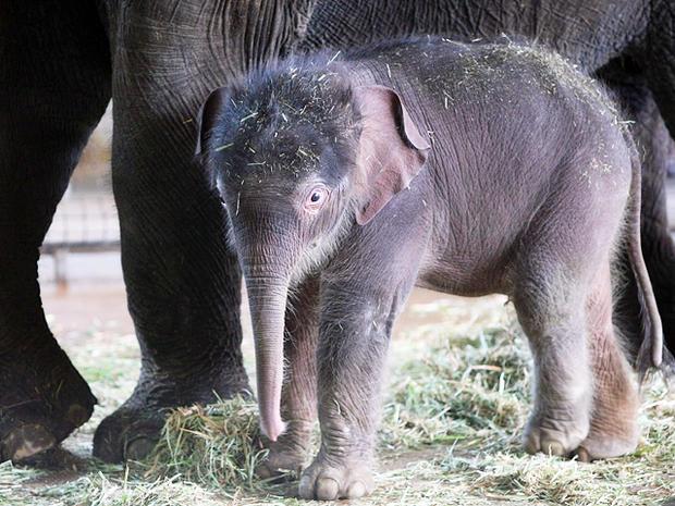 Baby elephant born at Berlin Zoo