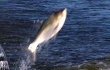 Jumping Asian carp invade Missouri River