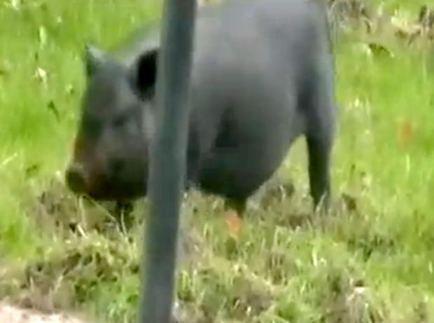 这只黑色大肚猪已经在宾夕法尼亚州米德兰高地撕毁了邻居的草坪,他们不太确定如何处理它。