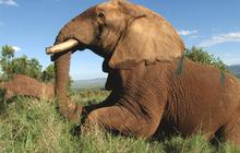 Kenya takes drastic action to save the elephant