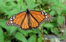 Monarch Butterflies migrate south for winter