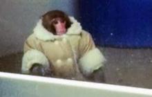 Monkey runs amok in Ikea parking lot