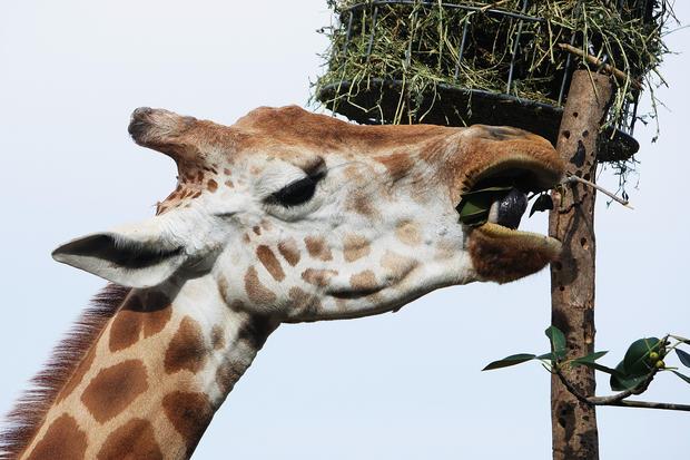 Zoo animals recieve Christmas gifts