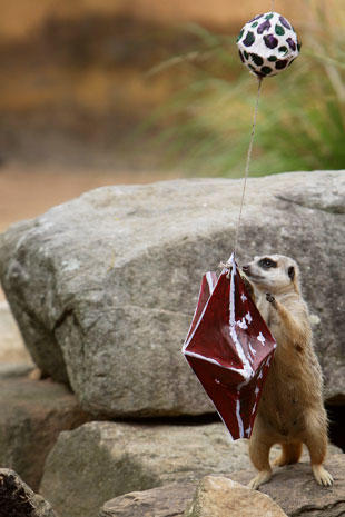 Zoo animals recieve Christmas gifts