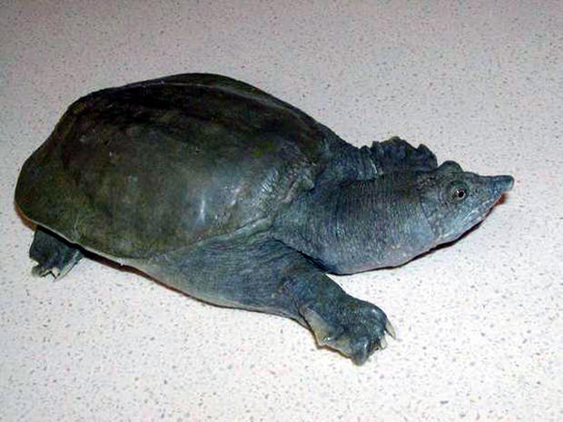The Chinese soft-shelled turtle (Pelodiscus sinensis) excretes urea, the waste product of urine, from its mouth, scientists report Oct. 11, 2012, in the Journal of Experimental Biology.