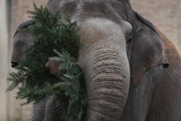 Elephants dine on Christmas