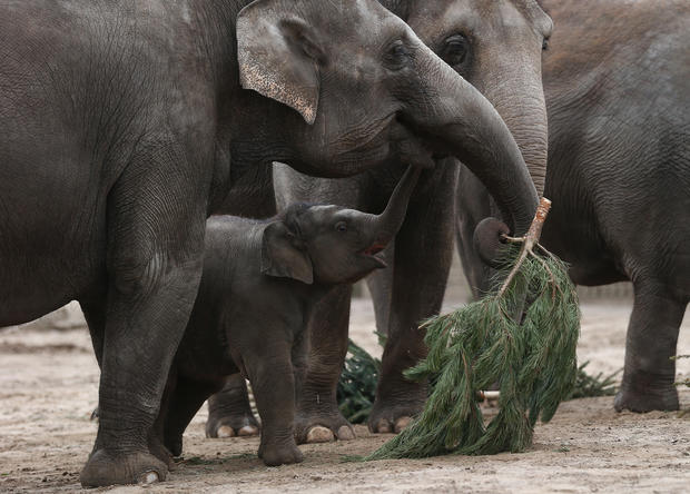 Elephants dine on Christmas
