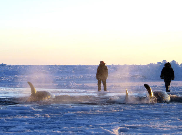 Killer whales trapped in Quebec ice