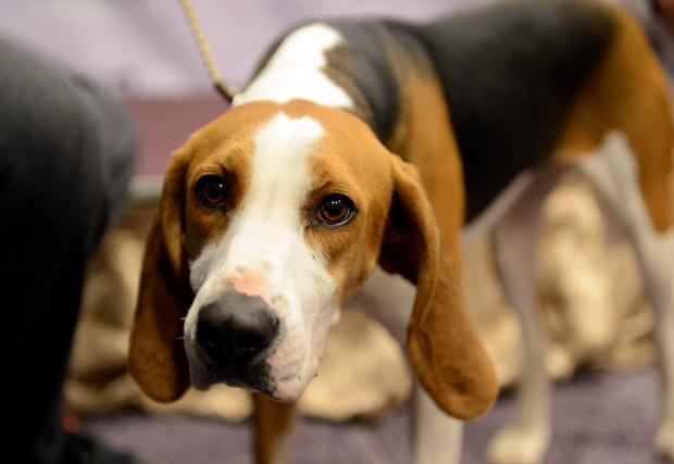 Westminster Kennel Club debuts two new breeds