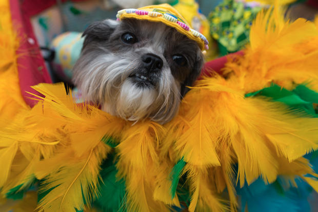 Dogs dress up for carnival