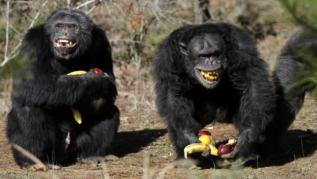 Nih To Retire Its Last Research Chimpanzees Cbs News
