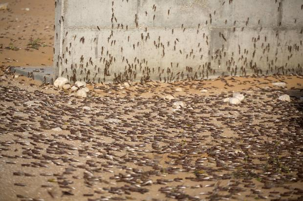 Locusts swarm the Middle East