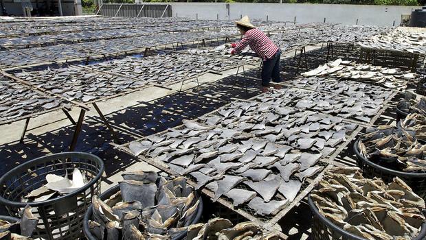 Shark finning essay