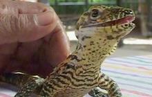 Indonesia zoo welcomes rare Komodo dragon babies