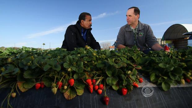 哥伦比亚广播公司新闻记者比尔惠特克和农民埃德加特里在特里的加利福尼亚州文图拉的草莓农场。