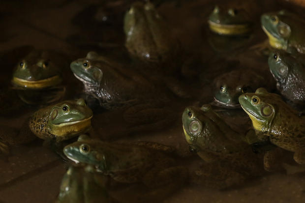Singapore frog farm sales leap