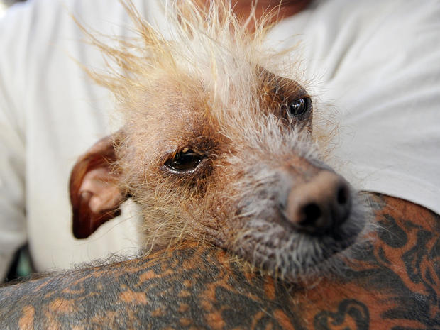 World's Ugliest Dog Contest 2013