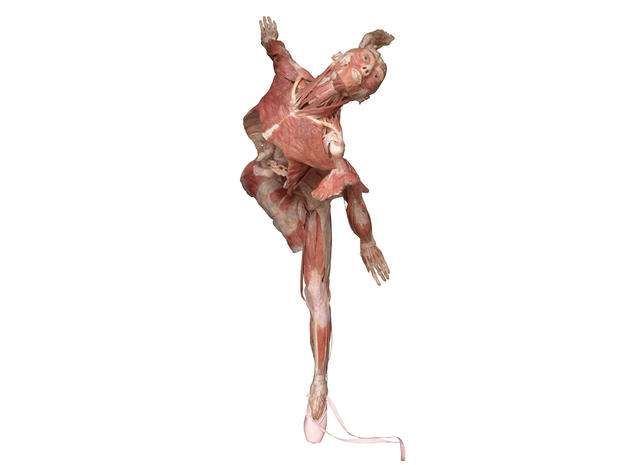 "Inside ""Body Worlds: Pulse"""