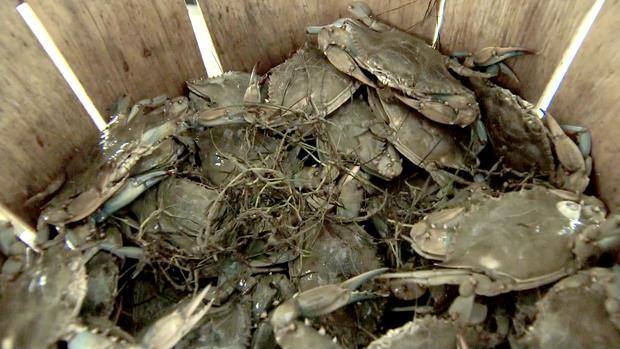 蓝蟹在马里兰州的史密斯岛捕获。